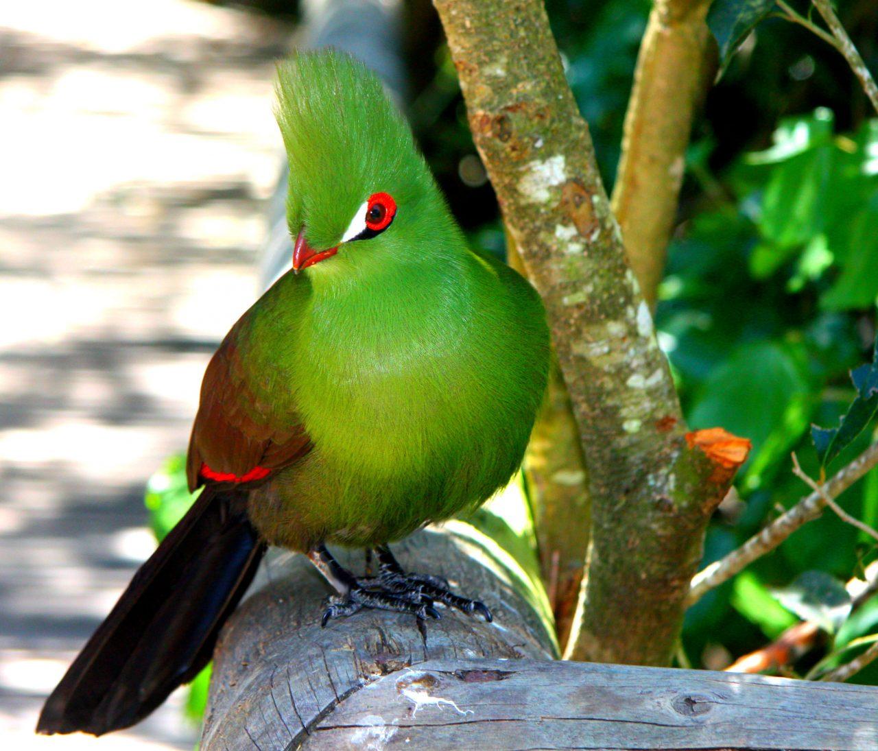 Knysna Loerie Birds of Eden