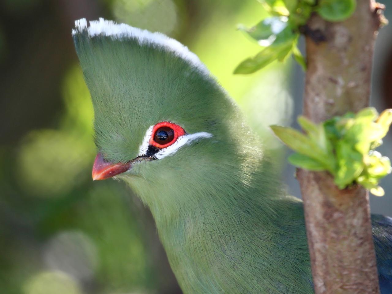 Knysna Loeri vogels langs de Tuinroute