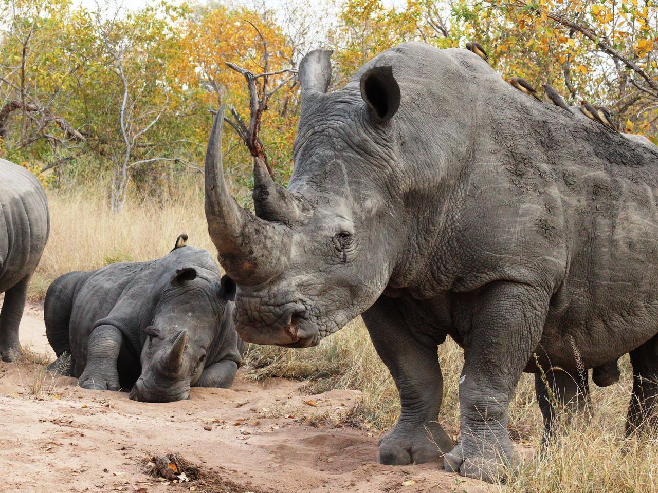 Neushoorns in Zuid-Afrika