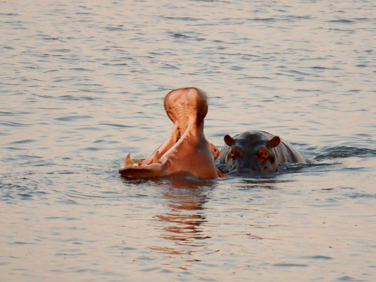 Nijlpaarden in de rivier bij St Lucia