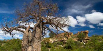 Puur Limpopo met Cultuur,  Baobabs en Safari Zuid-Afrika