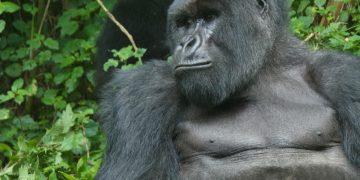 De primaten van Oeganda rondreis met gids