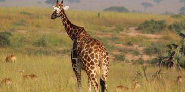 Familiereis Parel van Afrika inclusief Kidepo NP en bezoek Karamojong