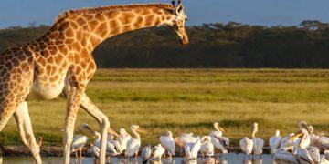 Kenia bouwsteen Masai Mara en Nakuru